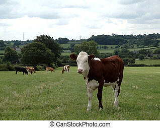 Hereford beef calf standing in meadow