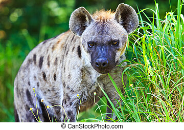 Hyena in meadow