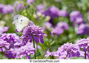 Butterfly and purple flowers - A melanargia larissa kind of...