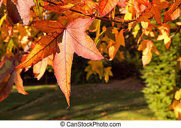 Acer palmatum leaves