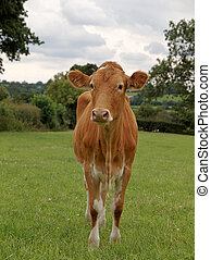 Young Guernsey Cow - Guernsey Heifer standing in meadow