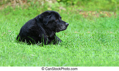 A profile of Sampson the old man black Labrador Retriever in the grass in the yard with room for your text.
