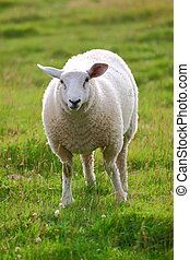 Sheep - A single sheep in green meadow