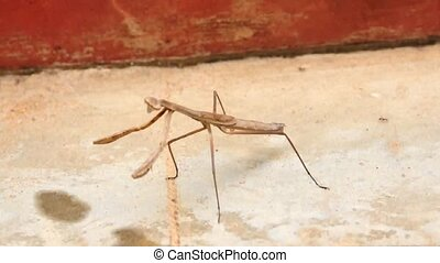 Brown coloured Mantis - Brown coloured dancing Mantis