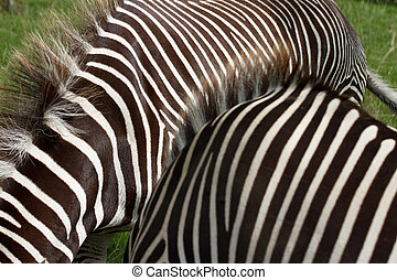 Grevys zebras - Two Grevys zebras showing bodies only