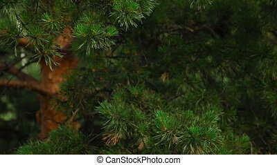Pine-tree. - The camera is lowered by the crane along the...