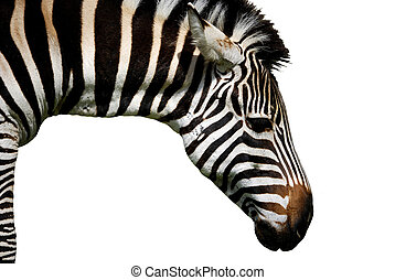 Zebra - zebra isolated on white