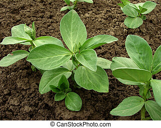 beans seedlings growing on the vegetable bed...