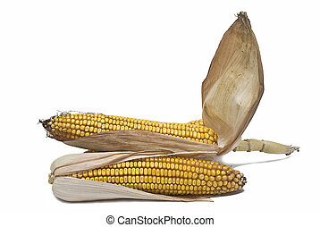 Maize ears isolated over white.