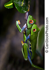Mating Red-Eyed Tree Frogs - A macro shot of a pair of...