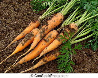 carrots - some carrots with tops on the ground...