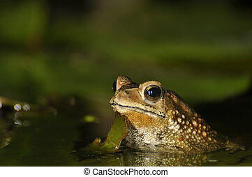 Black Spined Toad in the water - Black Spined Toad appearing...