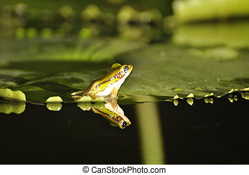 Green Paddy Frog back on waterlily - Green Paddy Frog turned...