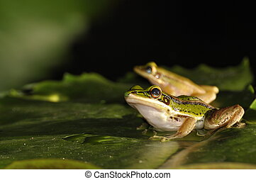 Green Paddy Frog pair on a waterlily leaf - Green Paddy Frog...