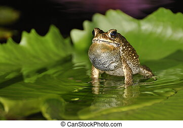 Black Spined Toad singing on a waterlily leaf with itself...