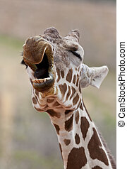 Giraffe Yawning - A close up shot of a Giraffe Giraffa...
