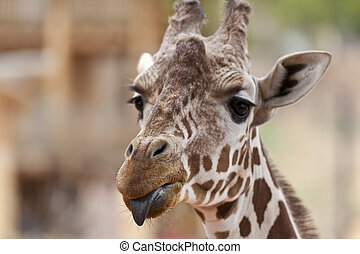 Giraffe with tongue out - A close up shot of a giraffe...
