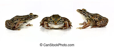 Leopard Frogs - Studio shots of Southern Leopard Frogs Rana...