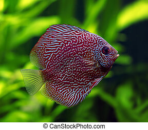 Snakeskin Discus Fish - A colorful close up shot of a...
