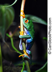 Red-Eyed Tree Frog - A macro shot of a colorful Red-Eyed...