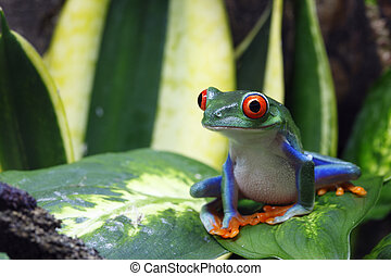 Smiling Tree Frog - A Red-Eyed Tree Frog Agalychnis...