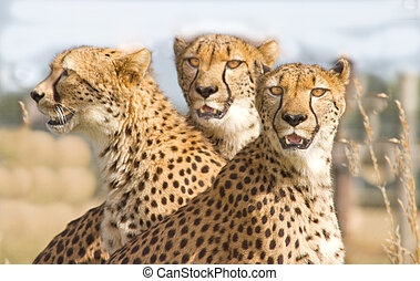 Three Cheetahs in safari park