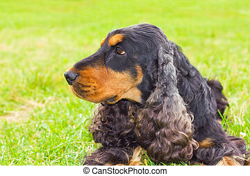 dog English Cocker Spaniel breed - close-up portrait of a...