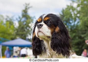 dog Cavalier King Charles Spaniel