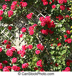 roses - red roses on fence