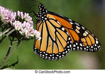 Monarch Butterfly Danaus plexippus