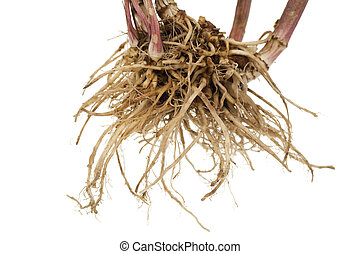 valerian - whole fresh root valerian on white background