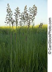 Poa pratensis - tuft grass Poa pratensis on background sky