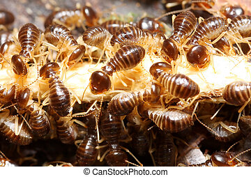 group of termite wood eater