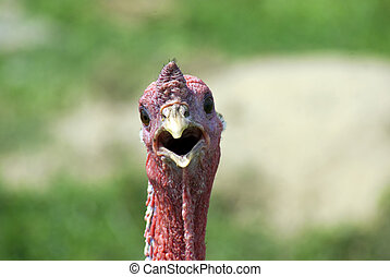 Wild Turkey - Wild turkey with a shocked look that I took...