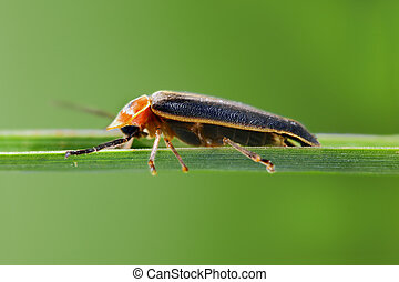 Firefly - A macro shot of a firefly (photinus lucicrescens)...