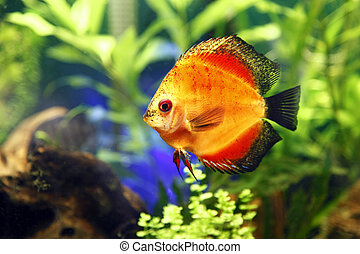 Fire Red Discus Fish - A close up shot of a Fire Red Discus...