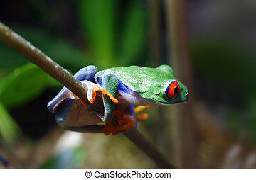 Red-Eyed Tree Frog - A beautifull and colorful Red-Eyed Tree...