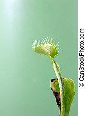 Venus Flytrap - A macro shot of a Venus Flytrap (Dionaea...