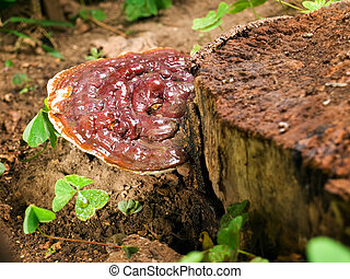 Ganoderma mushroom on an old stump in the woods