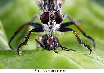 Robber Fly - An extreme macro shot of a robber fly eating a...