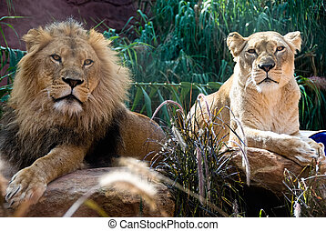 Lion and Lioness - A couple of an african lion and lioness,...