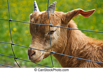 A goat on the fence