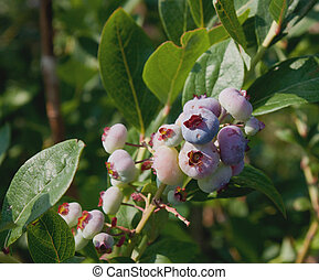 Under Ripe Blueberries-0354 - Under ripe blueberries on the...