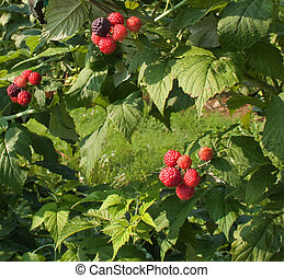 Black Raspberriers_0335 - Three bunches of luscious black...