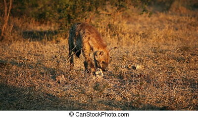 Scavenging spotted hyena - Spotted hyena (Crocuta crocuta)...