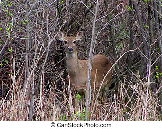 White Tail Deer - Adult white tail deer, in the brush
