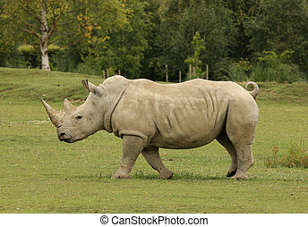 White Rhino - Portrait of a White Rhino