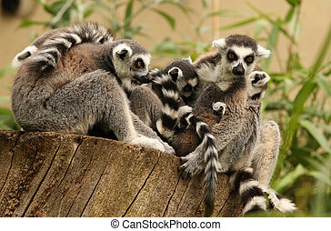 Ring Tailed Lemurs - A family of Ring Tailed Lemurs