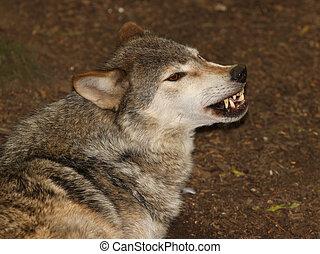 Grey Wolf - Portrait of a Grey Wolf