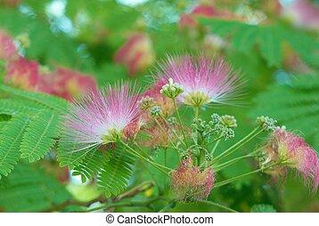flores, Acácia